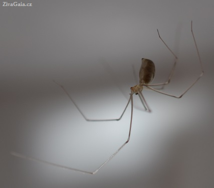 Pholcus phalangioides body